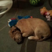 brown puppy sleeping