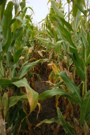 A cornfield in Iowa