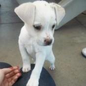 white short hair puppy