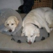 two yellow Labs lying together on bed