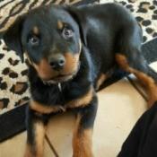 Rottie puppy