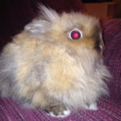 A closeup of a lionhead rabbit.