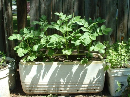 potato plants growing in old white ice chest