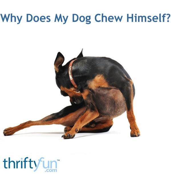 Why Does My Dog Chew Himself?