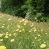 dandelion flowers on roadside