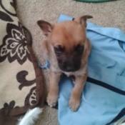 brown puppy with dark muzzle