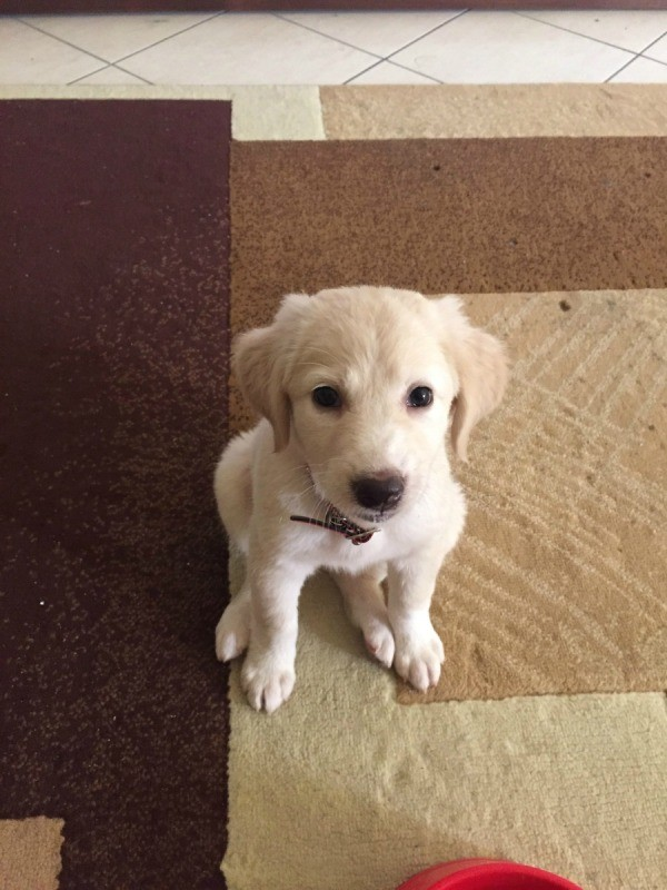 jack russell and lab mix