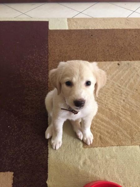 yellow puppy