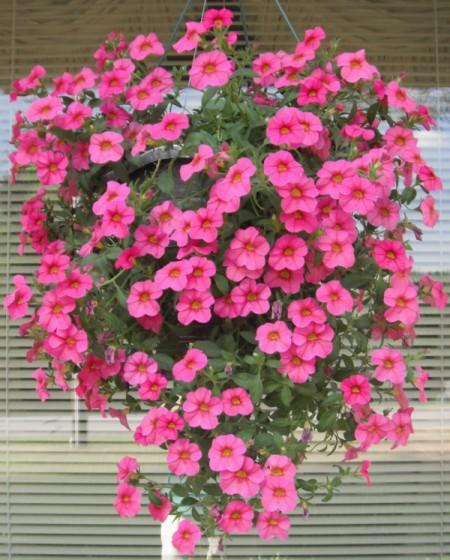 hanging basket of bright pink petunias
