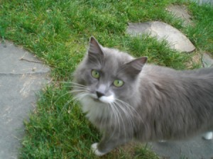 gray and white kitty
