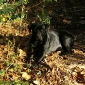 black dog laying in the yard