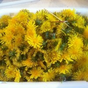 A bunch of dandelion blossoms in a tub.