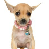 Chihuahua with pink collar