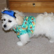 fluffy white dog wearing a shirt and hat