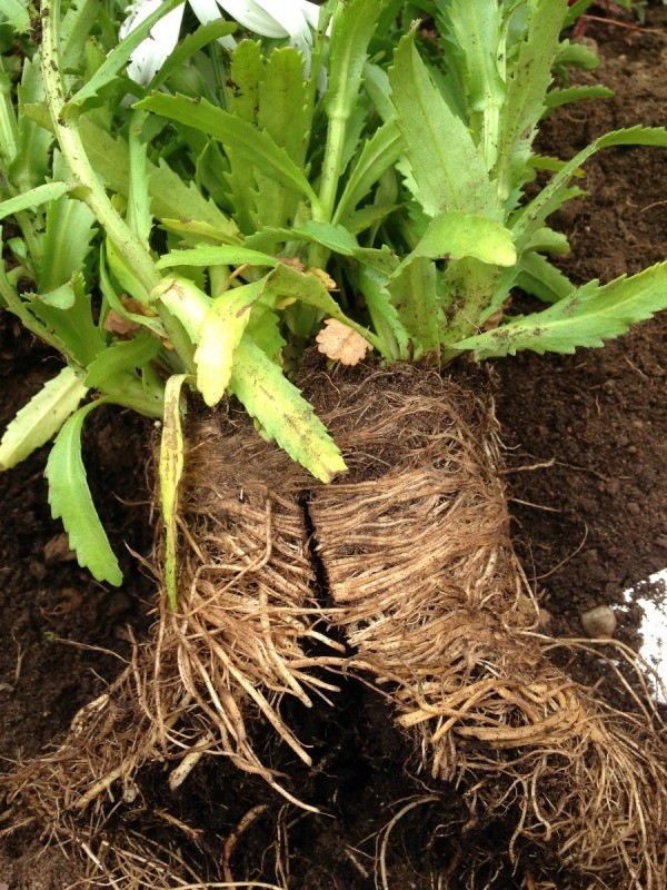 Saving a Root Bound Plant