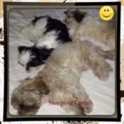 Three Shih Tzu sleeping together on a bed.