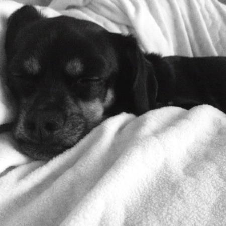 black dog in white blanket
