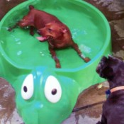 dog in turtle pool