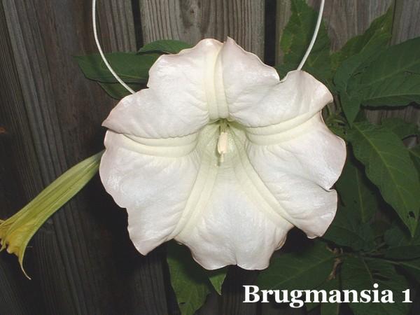White brugmansia flower.