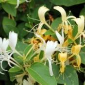 closeup of honeysuckle flowers