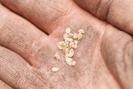 gardener's hand holding tomato seeds