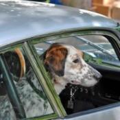 spaniel in a car