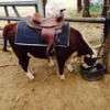 cow with saddle