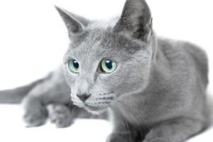 A grey Russian Blue cat.