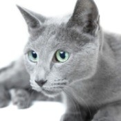 A grey Russian Blue cat.