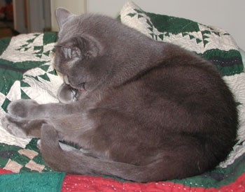 Boris- Russian Blue