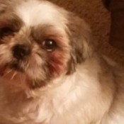 Dexter (Shih Tzu) - Light colored Shih Tzu with darker coloring on face.