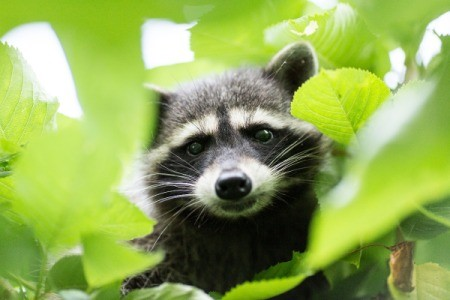 A raccoon high up in a cherry tree. Photo by Lens Flare Photography