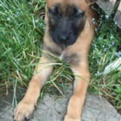 light brown puppy with dark muzzle