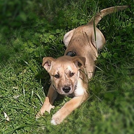 tan puppy lying on lawn
