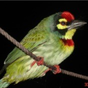 green bird with red on head and throat