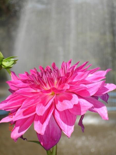 brilliant pink flower
