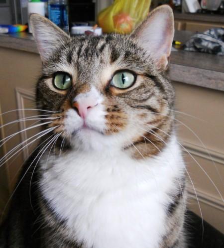 tabby colored short hair cat