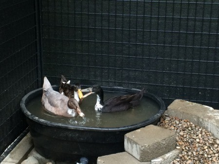 Making a Duck Pond
