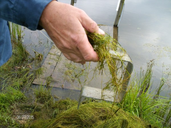 Milfoil in the pond.
