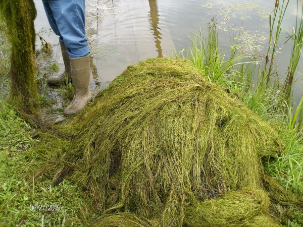 A big pile of milfoil
