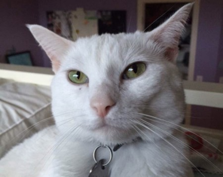 closeup of short hair white cat