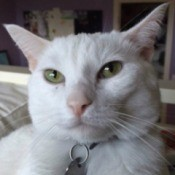 closeup of short hair white cat