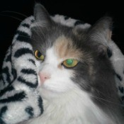 diluted calico cat under a blanket
