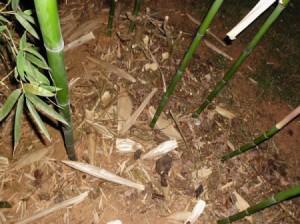 Bamboo growing in a garden.