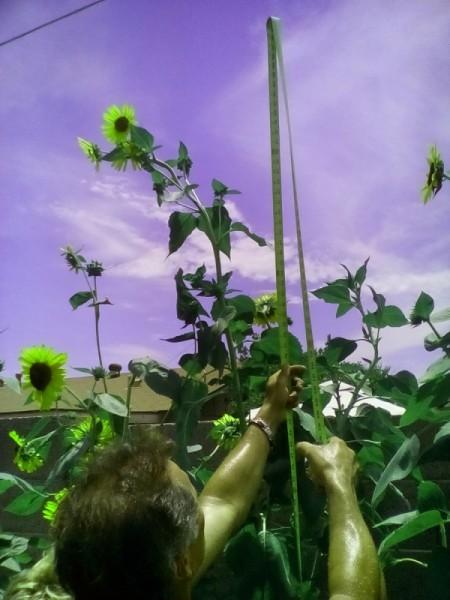 man tying up sunflowers