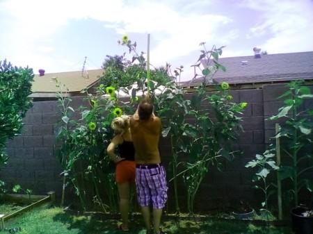 Arizona Sunflowers 1
