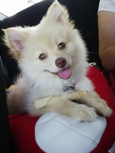 Smiling White Pomeranian with blue eyes.