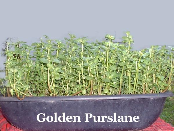 Edible Purslanes