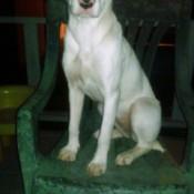 slender white dog sitting