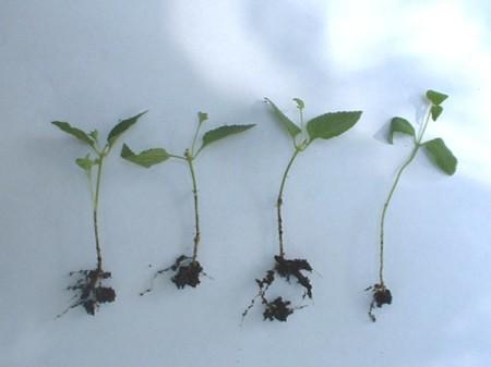 rooted lantana cuttings